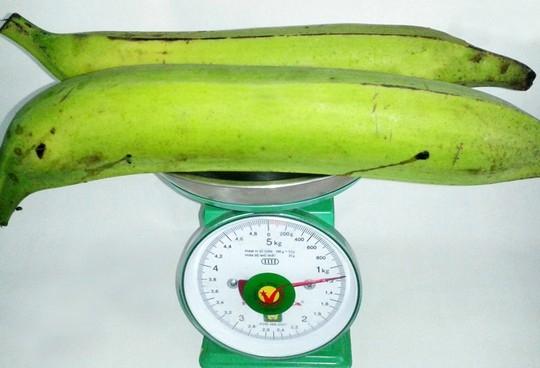 Quả chuối tá quạnhẹ nhất cũng có trọng lượng hơn1kg. (Ảnh: Internet)