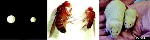 """""""Những cá thể men, ruồi và chuột nào có kích thước nhỏ hơn đều sở hữu loại gen FOXO3 bảo vệ, nó ngăn chặn hấp thu insulin và làm cho chúng có tầm vóc nhỏ bé từ khi ra đời,"""" theo Tiến sĩ Wilcox. (Ảnh: PLOS ONE)"""