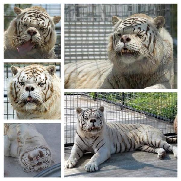 Xót xa hình ảnh chú hổ bị Down đầu tiên trên thế giới