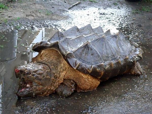 Con rùa khủng long được tìm thấy ở sông Amur, Nga. (Ảnh: Internet)