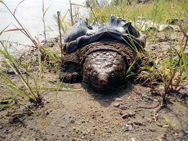 Rùa khủng long có thể phát triển đến kích thước rất lớn. (Ảnh: Internet)