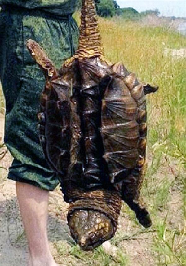 Rùa khủng long đang có nguy cơ bị tuyệt chủng rất cao. (Ảnh: Internet)