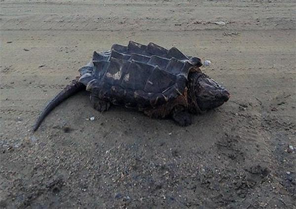 Loài rùa khủng long thường hiếm khi lên bờ. (Ảnh: Internet)