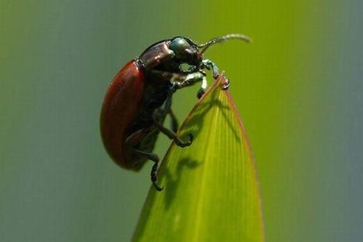 Bọ cánh cứng Dactylopius Coccus là loài động vật nhỏ bé chuyên ăn xương rồng, chủ yếu phân bố tại Trung và Nam Mỹ. Con cái thường xuyên ăn xương rồng đỏ, do đó chúng được bắt và nghiền nát để chế tạo son môi bởi màu rất khó phai. Nhờ đặc tính đó, chúng còn đượcdùng để chế tạo thuốc nhuộm từ cách đây hàng ngàn năm. Hiện tại, chất này còn được sử dụng trong kem, kẹo, sữa chua... (Ảnh: Oddee)