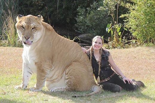 """Liger là kết quả của """"mối tình ngang trái"""" giữa sư tử đực và hổ cái. Chúng có kích thước to lớn (hơn 400kg) do mang gen tăng trưởng từ bố và bị khuyết gen kìm hãm tăng trưởng từ mẹ. (Ảnh: Bored Panda)"""