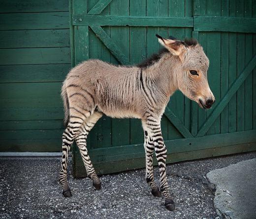 Zonkey (lừa vằn) là kết quả sau khi giao phối giữa ngựa vằn cái và lừa đực. (Ảnh: Bored Panda)