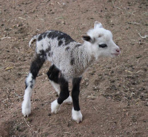 Geep là kết quả của dê giao phối với cừu. Tuy nhiên, chúng thường chết non sau khi ra đờiít lâu. (Ảnh: Bored Panda)