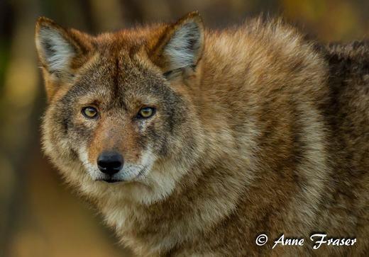 Coywolf làmột giống chó sói lai giữa loài chó sói đồng cỏ (coyote) miền Tây và sói xám (Grey wolf) miền Đông.Hiện chúng đang sống tại Đông Bắc Mỹ. (Ảnh: Bored Panda)