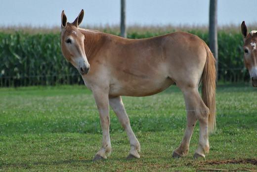 Trong khi đó, Hinnylà con vật ra đời sau khi cho giao phối giữa lừa cái và ngựa đực. (Ảnh: Bored Panda)