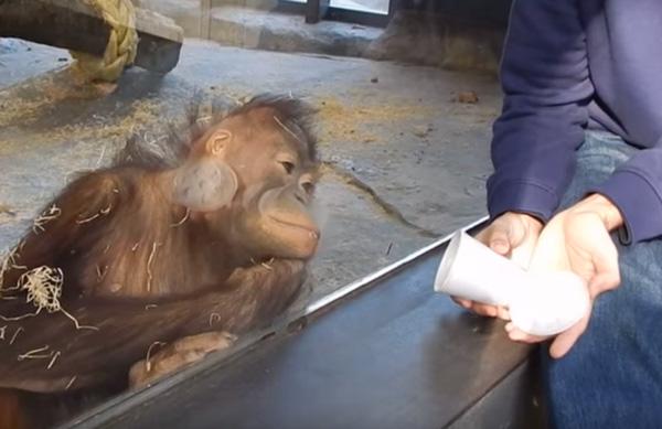 Theo đó, mộtchú khỉ chăm chú theo dõi màn ảo thuật của người đàn ông, khi kết thúc nó đã phấn khích đến nỗi cười ngoác miệng và lăn kềnh ra đất. (Nguồn: Internet)