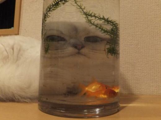 """""""Làm thế này cho cá vàng sợ!""""."""