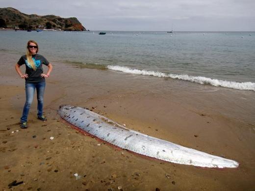 Một sinh vật bí ẩn dưới lòng biển sâu có tên Oarfish dạt vào bờ biển đảo Catalina, California, Mỹvào ngày 01/06. Dù loài cá này là nguồn gốc của cáccâu chuyện li kìvề những con thủy quái nhưng chúng hoàn toàn không gây nguy hiểm cho con người. (Ảnh: Tyler Dvorak)