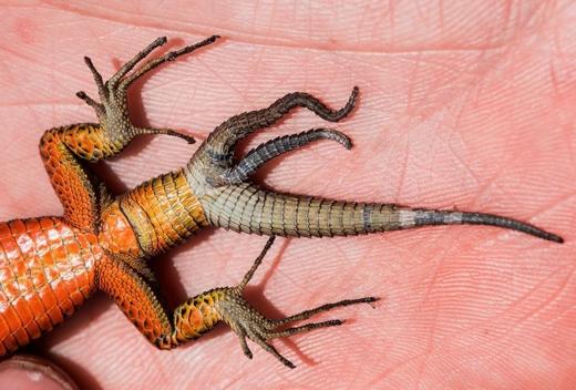 Được phát hiện vào tháng 6 ở Kosovo, đây làcon đầu tiên trong họthằn lằn cổ xanh có đến 3 chiếc đuôi. Đồng thời, nó cũngnằm trong số rất ít những con thằn thằn có 3 đuôi được ghi nhận trên thế giới. Theo một nghiên cứu được công bố vào tháng 8 trên tạp chí Ecologica Montenegrina, một lực mạnh tác động vào con thằn lằn này nên đã làm vỡ xương sống phía trên đuôi của nó. Rồi từ đó, mỗi đuôi mới mọc ra từ đốt sống riêng.(Ảnh: Daniel Jablonski)