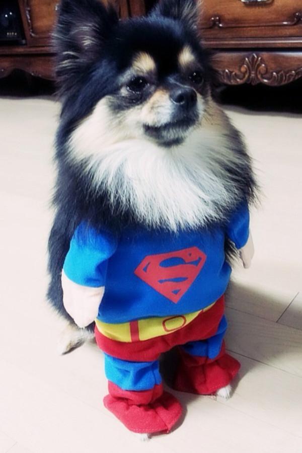 """Với nụ cười tươi rói lên đến tận mang tai, chú cún Kkoming của Yesung (Super Junior) khá nổi tiếng sau khi được """"ông chủ"""" nhiệt tình lăng xê trên mạng xã hội."""