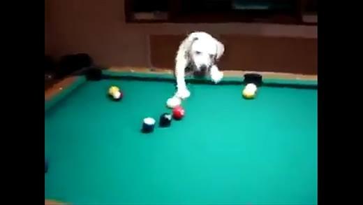 Sốc với chú chó chơi bi-a