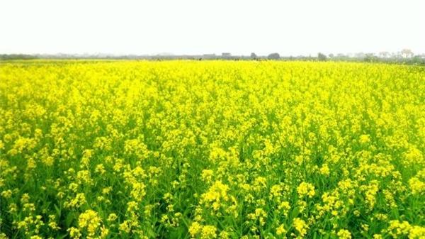 Những cánh đồng cải bạt ngàn vàng rộm cả trời đông Hà Nội. (Ảnh: Internet)