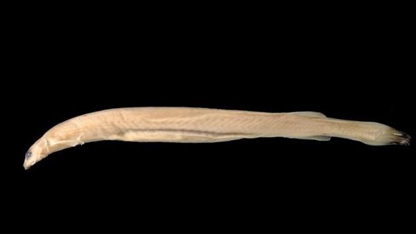 """Cá """"ma cà rồng"""" có thân hình dài, màu da hòa lẫn với nước sông Amazon. (Ảnh: Internet)"""