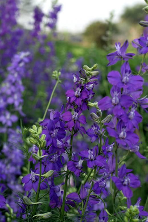 Sắc tím nên thơ của hoa violet. (Ảnh: Internet)