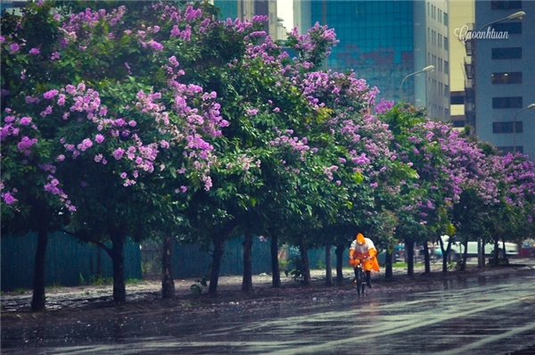 """Màu mực tím học trò """"choáng ngợp"""" trên những con phố Hà Nội. (Ảnh: Internet)"""