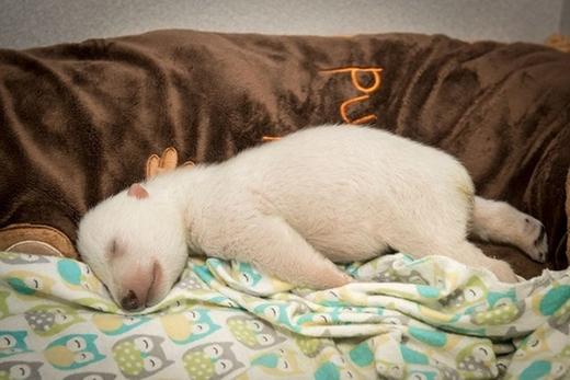 Bé gấu Bắc Cực tại vườn thú Colombus (Ảnh: Internet)