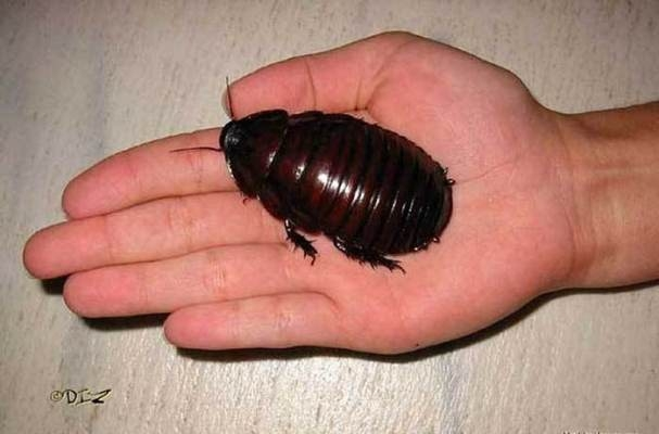 Chúa tể của những loài gián có kích thước lớn gần nửa bàn tay người. (Ảnh: Internet)
