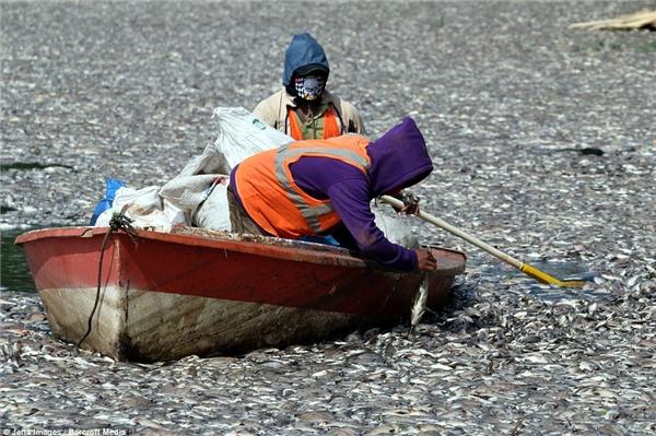 Một nhóm tình nguyện giúp người dân vớt đi số lượng cá chết khổng lồ để tránh ô nhiễm môi trường. Ảnh: Internet
