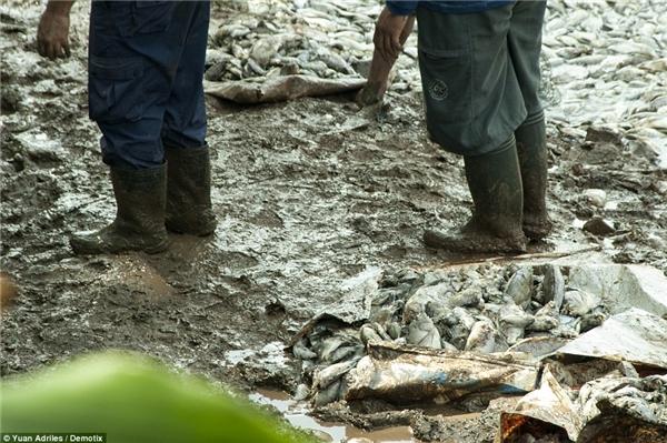 Hiện tại, người dân địa phương đang nỗ lực vớt cá chết để làm sạch môi trường và cứu những con cá còn sống. (Ảnh: Internet)
