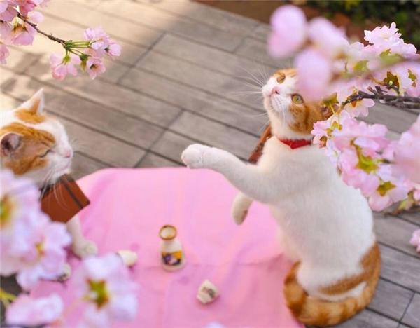 """""""Vừa ngắm hoa anh đào vừa nhấm nháp trà là thời thượng nhất đấy các mẹ ạ!"""".(Ảnh: Internet)"""