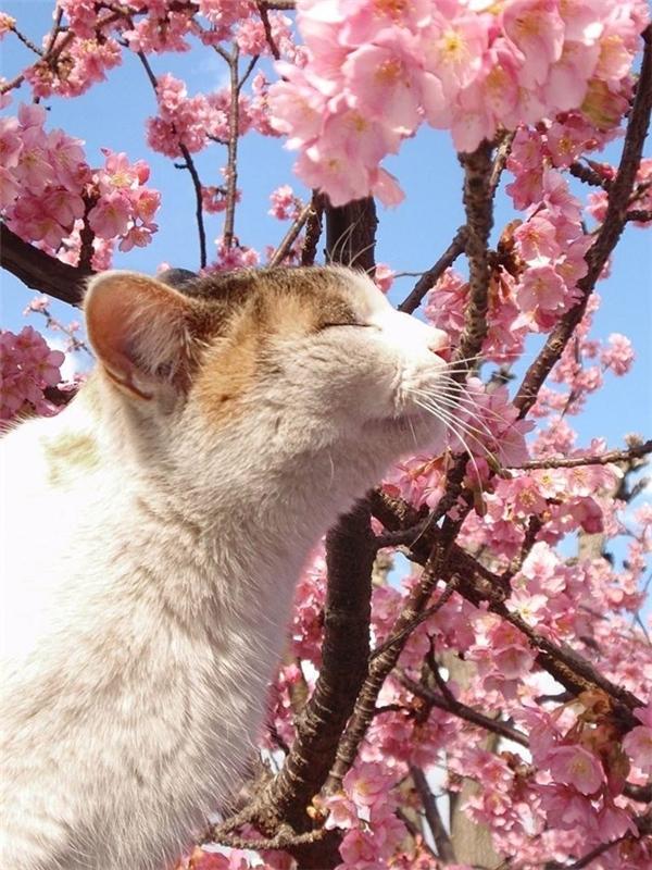 """""""Thiếu nữ""""bên hoa anh đào.(Ảnh: Internet)"""