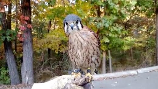Trố mắt xem chim ó múa bụng vô cùng kì lạ