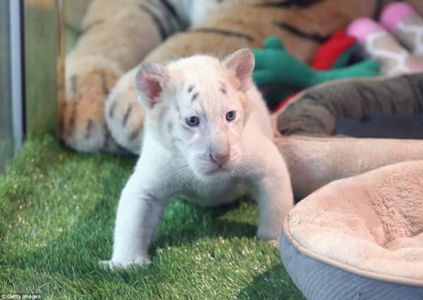 Hai chúhổ trắng Bengalđược sinh ra theo phương pháp tự nhiên hiếm hoi. (Ảnh: Internet)