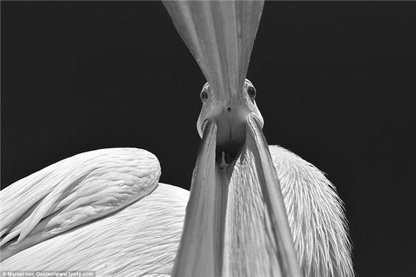 Bên cạnh giải thưởng cao nhất, nhiếp ảnh gia Marsel van Oosten còn gây chú ý với bức ảnh bồ nông trắng trên một con tàu vượt biển Đại Tây Dương, gần vịnh Walvis, Namibia.