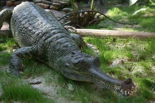 Cá sấu Ấn Độ:Loài cá sấu này trông giống với hầu hết các loài cá sấu khác, ngoại trừ chiếc mõm dài mảnh khảnh. Chúng sống ở Ấn Độ, có thể dài đến 6m. (Ảnh: Internet)