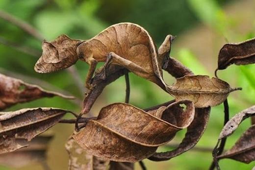 Tắc kè đuôi quỷ Satan:Sống chủ yếu ở Madagascar, loài tắc kè lạ lùng này có hình dáng và màu sắc giống như chiếc lá. (Ảnh: Internet)
