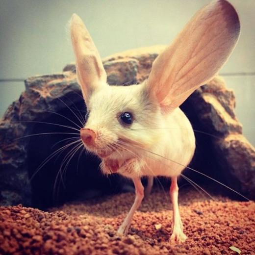 Chuột nhảy tai dài:Được phát hiện vào năm 2007, loài động vật này chủ yếu sinh sống ở Trung Quốc và Mông Cổ. Đôi tai to giúp chúng chống chọi cái nắng khắc nghiệt của vùng sa mạc. (Ảnh: Internet)