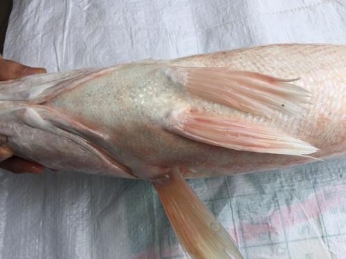 Con cá lạ - nghi là sủ vàng nặng 4kg do anh Trung bắt được. (Ảnh: FB)