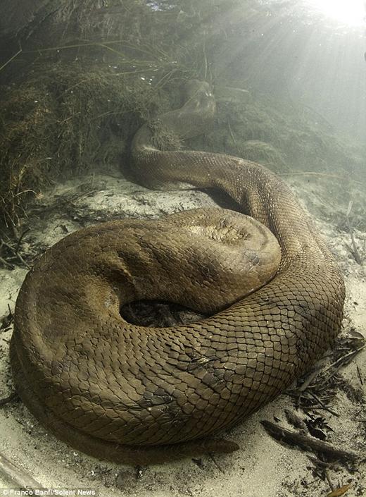 Nhìn độ sáng của ánh mặt trời sẽ thấy con trăn này đang ở gần mặt nước và sắp tấn công con mồi. (Ảnh: Franco Banfi)