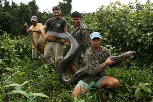 """Siêu... trăn bị """"bắt giữ"""" bởi các nhà sinh học. (Ảnh: Rewa Expedition / Barcroft Media)"""