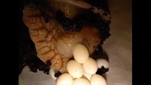 Đổ mồ hôi xem sinh vật chậm nhất hành tinh đẻ trứng