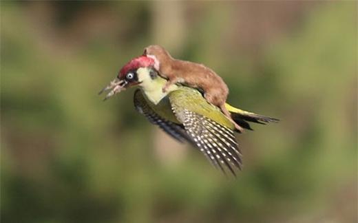 Nhiếp ảnh gia Martin Le-May ghi lại cảnh tượng chim gõ kiến cõng chồn trong khi đang bay trên không ở Essex, Anh.