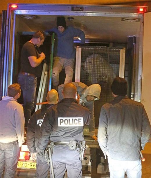 Một nhóm người di cư trái phép bị phát hiện trốn trong xe chở gấu bắc cực tại thành phố Calais của Pháp.