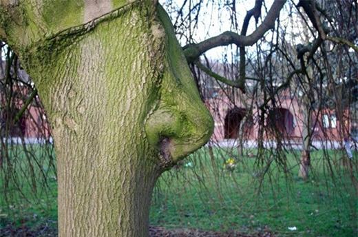 Thân cây biến dạng có hình chiếc mũi khổng lồ trong một nghĩa trang ở Hull, East Yorks, Anh.