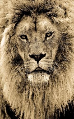 Chân dung một vị vua sư tử đang ở thời kỳ phong độ hoàng kim.