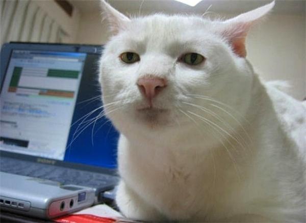 Cao thủ hơn, chẳng cần làm gì, chú mèo mặt nghiêm túc này cũng khiến chủ nhân có cảm giác bị trêu ghẹo khi lại gần.