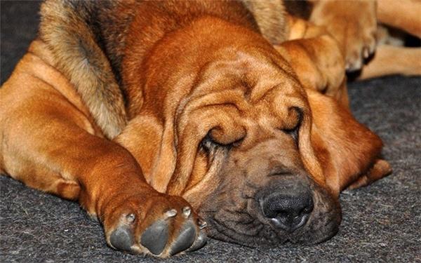 Điểm các giống chó ngốc nghếch đáng yêu nhất thế giới