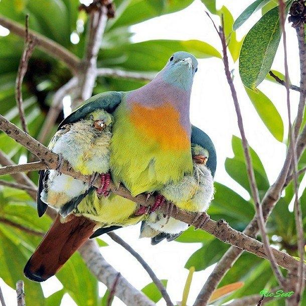Đây là cách chim mẹ bảo vệ an toàn cho đàncon của mình.Ảnh: Ric Seet