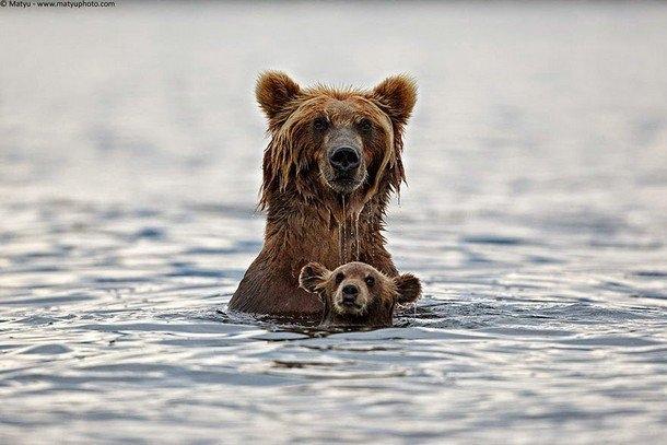Chúgấu nhỏnày ắt hẳn sẽ không bao giờ quên những khoảnh khắc lầnđầu tiên được bơi lội đâu nhỉ?Ảnh: Ric Seet