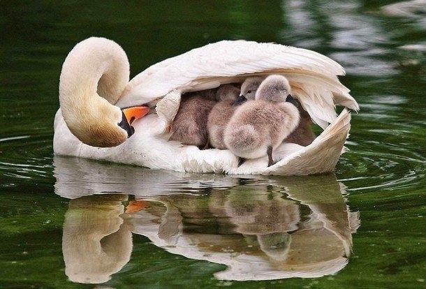Bên mẹ, đànthiên nga con luôn có cảm giácấm áp và an toàn nhất.Ảnh: DailyMail