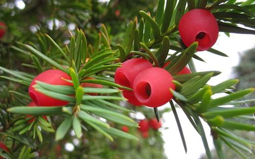 Trái đỏ đặc trưng của cây thanh tùng. (Ảnh: Internet)