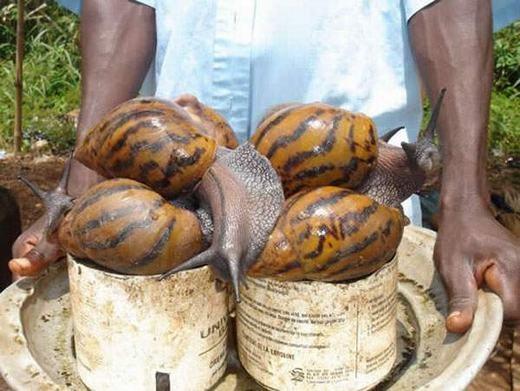 Ốc sên đất khổng lồ châu Phi (African Giant Snail) có thể xem là loài ốc sên lớn nhất thế giới hiện nay, có những con dài tới hơn 20cm. (Ảnh: Internet)
